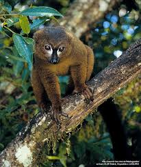 lemur Rojo-hecho bolso - varón